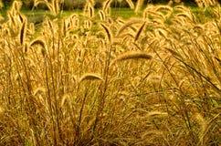 Leuchtende goldene Strahlen von Bristlegrass Stockfotografie