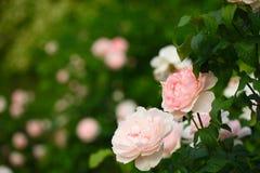Leuchtende rosafarbene Rosen von Central Park Stockfotografie
