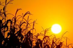 Leuchtender orange Sonnenaufgang über einem Maisfeld Stockfotos