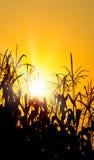 Leuchtender orange Sonnenaufgang über einem Maisfeld Lizenzfreies Stockfoto