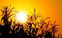 Leuchtender orange Sonnenaufgang über einem Maisfeld Stockfoto
