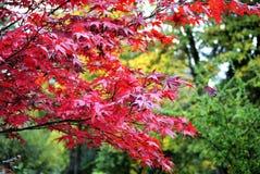 Leuchtender roter Baum des Herbstes Stockbild