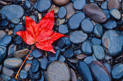 Leuchtendes rotes Fallblatt auf Flussfelsen Stockfoto