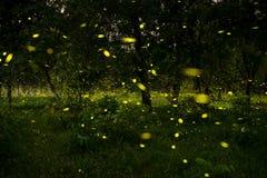 leuchtkäfer Lizenzfreie Stockfotos