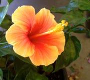 Leuchtorange-Hawaiianer-Blume lizenzfreie stockfotografie