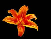 Leuchtorange-Lilienblumenlokalisiert am Schwarzen Stockfoto