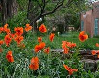Leuchtorange-Mohnblumen, die in einem Taos-New Mexiko-Garten mit Adobe-Gebäude im Hintergrund wachsen Stockbild