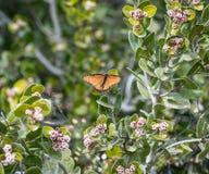 Leuchtorange-Monarchfalter angeschmiegt unter grünen Blättern stockfotos