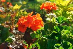 Leuchtorange-Pelargonien Lizenzfreie Stockfotografie