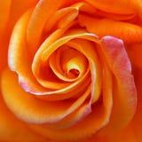 Leuchtorange Rose Stockfoto