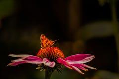 Leuchtorange-Schmetterling auf orange und rosa Coneflower stockfotos