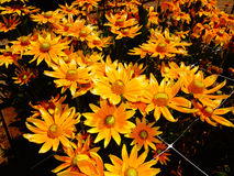 Leuchtorange-Sonnenblumen lizenzfreies stockfoto