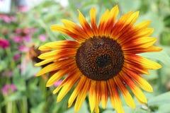 Leuchtorange und Gelbsonnenblume Lizenzfreie Stockfotos