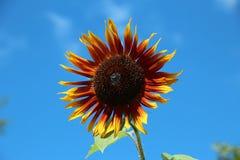 Leuchtorange und Gelbsonnenblume Lizenzfreies Stockfoto