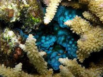 Leuchtstoff blaue Manteltier-Speicherung Lizenzfreies Stockbild