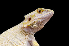 Leucistic bearded dragon / Pogona vitticeps Royalty Free Stock Photos