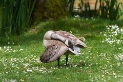 Leucistic Canada Goose Stock Images
