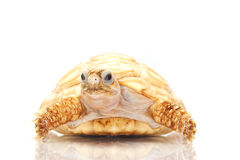 Leucistic Chaco tortoise Stock Photo