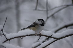 Leucistic Chickadee with cold feet. Leucistic Chickadee resting on a snow covered branch. White snowy background Stock Photography