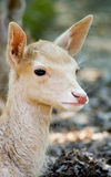 Leucistic fallow deer fawn Stock Photos