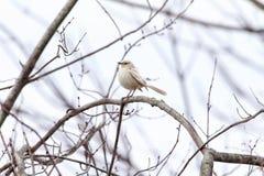 Leucistic härmfågel Royaltyfri Fotografi