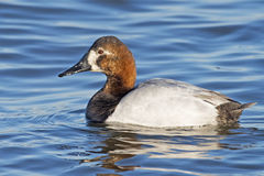 Leucistic Male Canvasback Duck Stock Photography
