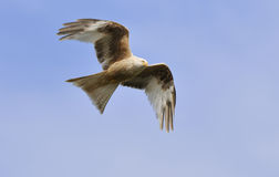 Leucistic Red Kite - Milvus milvus Royalty Free Stock Photo