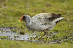 Leucistic white Moorhen Royalty Free Stock Images
