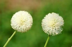 Leucocephala do Leucaena (Lamk ) flor da flor de Sagacidade Foto de Stock