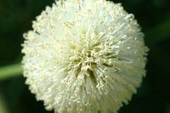 Leucocephala do Leucaena (Lamk ) flor da flor de Sagacidade Imagem de Stock
