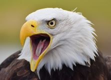 Leucocephalus calvo de Eagle Haliaeetus screeching imagenes de archivo