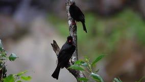 Leucocephalus de dos del asiático del negro del bulbul hypsipetes de los pájaros en rama de árbol en el parque nacional de la gar metrajes