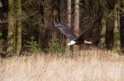 Leucocephalus de Haliaeetus - vol tête blanche d'aigle dans la forêt photos libres de droits
