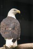 Leucocephalus del Haliaeetus del águila calva en el parque zoológico de Philadelphia Foto de archivo libre de regalías