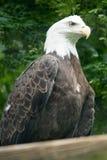 Leucocephalus del Haliaeetus del águila calva en el parque zoológico de Philadelphia Fotografía de archivo libre de regalías