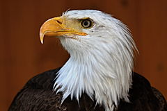 Leucocephalus do Haliaeetus, águia americana Fotos de Stock