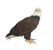 Leucocephalus do Haliaeetus da águia americana isolado no fundo branco imagem de stock royalty free