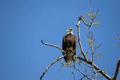 Leucocephalus do haliaeetus da águia calva Fotografia de Stock
