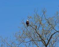 Leucocephalus do haliaeetus da águia calva Imagem de Stock