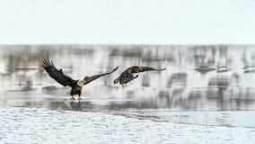 Leucocephalus do Haliaeetus das águias americanas que luta por salmões no th fotografia de stock