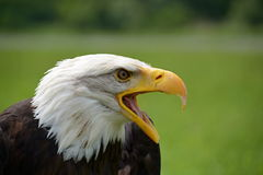 Leucocephalus Haliaeetus αετών Στοκ Εικόνα