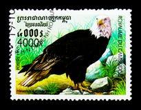 Leucocephalus Haliaeetus белоголового орлана, serie хищных птиц, около 1999 Стоковое Изображение