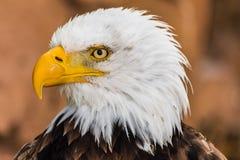 Leucocephalus Haliaeetus портрета белоголового орлана стоковая фотография rf