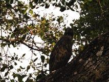 Leucogaster Haliaeetus, Бело-bellied орел моря садить на насест на treetop против голубого неба Национальный парк Wilpattu, Шри-Л стоковое изображение