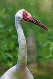 Leucogeranus di gru, gru bianca siberiana. Fotografie Stock