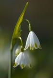 leucojum λουλουδιών στοκ φωτογραφίες