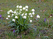 Leucojum aestivum with bell shape flowers. In the park Royalty Free Stock Photography