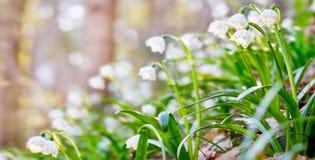Leucojum aestivum` s blommar att blomma i solig dag ANMÄRKNING: denna ph Arkivbild