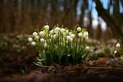 Leucojum aestivum. Snowflakes Leucojum aestivum blooming in the woods Stock Images