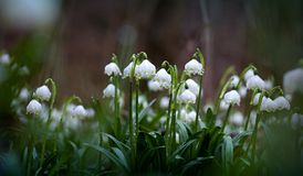 Leucojum aestivum. Snowflakes Leucojum aestivum blooming in the woods Royalty Free Stock Photo